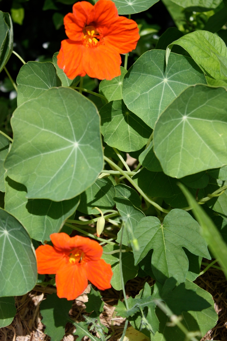 Nasturtiums from the Garden | brownpaperbelle.com