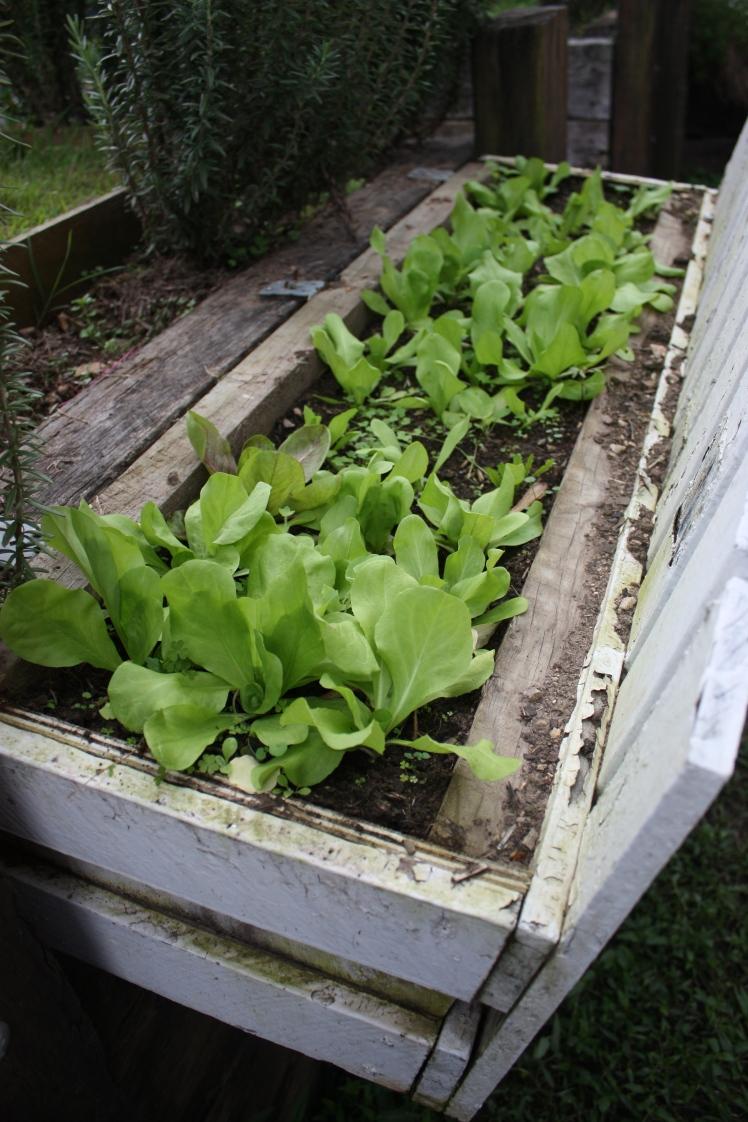 Italian Lettuce Seedlings | brownpaperbelle.com