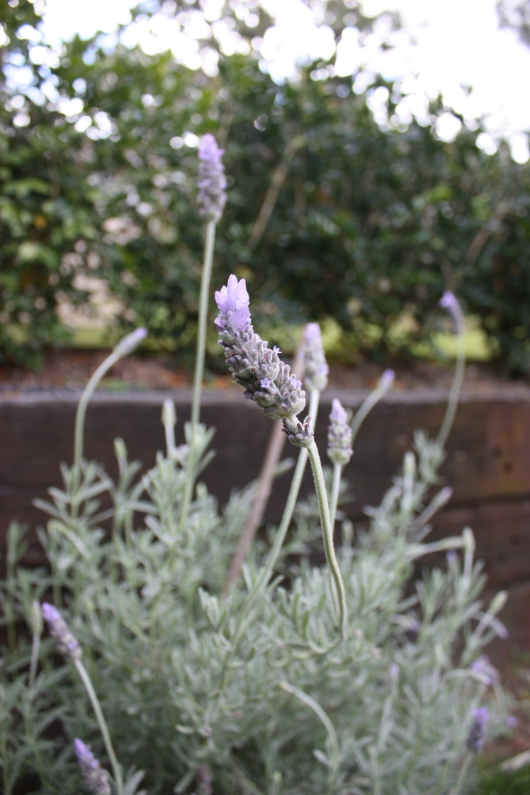 Lovely Lavender | brownpaperbelle.com