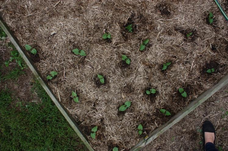 Dwarf French Bean Seedlings | brownpaperbelle.com