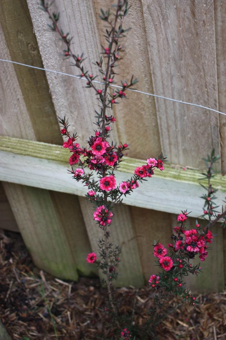Geraldton Wax | brownpaperbelle.com