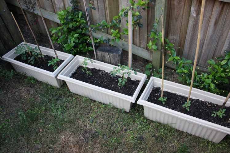 Tomato Seedlings | brownpaperbelle.com